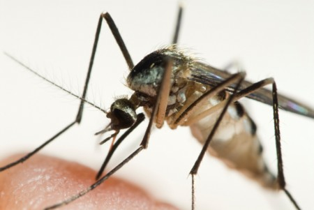 An Aedes triseriatus mosquito has just begun feeding on a human.