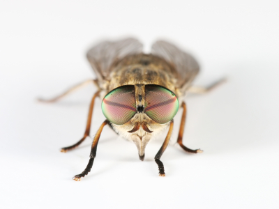 Isolated horsefly